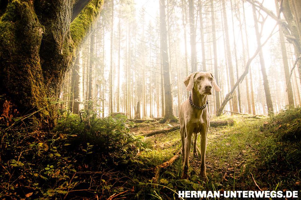 Weimaraner im Eifelwald