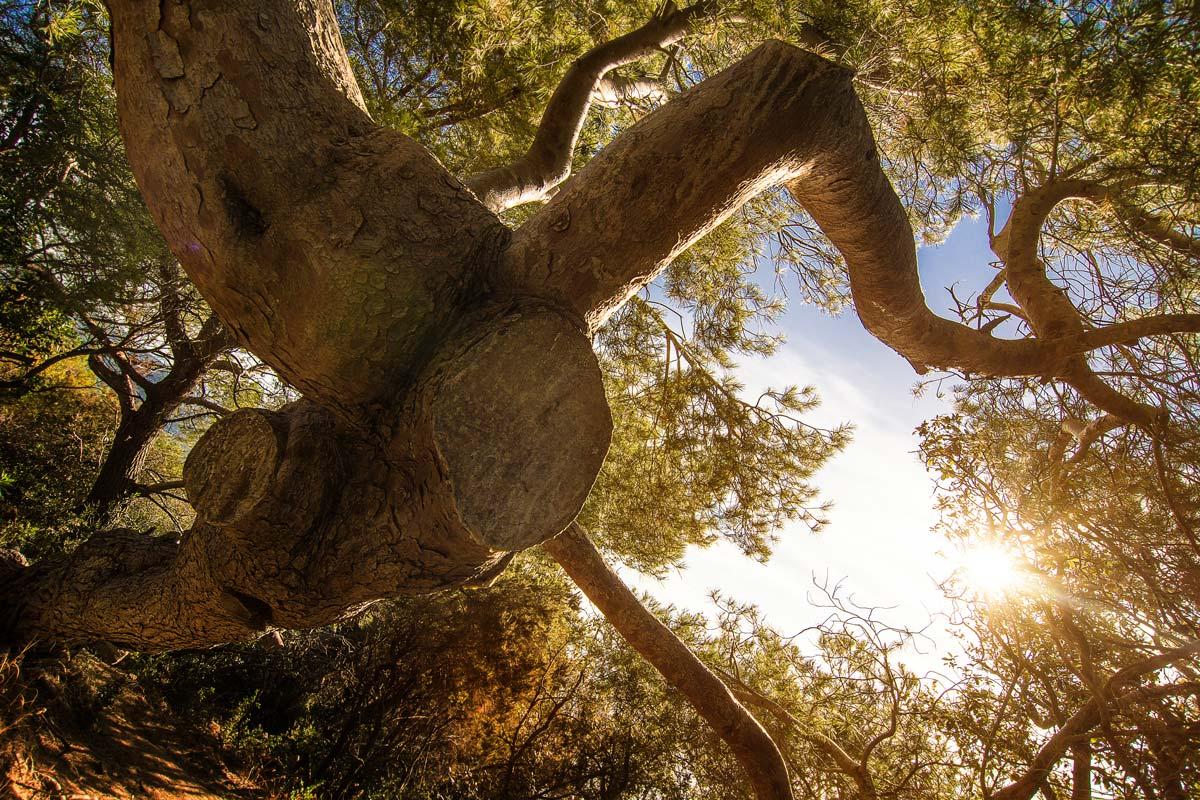 Typischer Baum an der Cote d'Azur