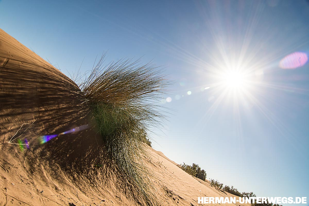 Dünengras in der Wüstensonne des Erg Chegaga
