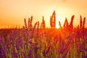Abendstimmung im Lavendelfeld