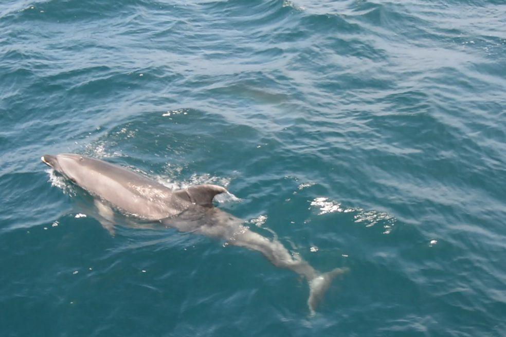Delfin in der Straße von Gibraltar