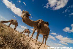 Dromedar, Oued Rheris