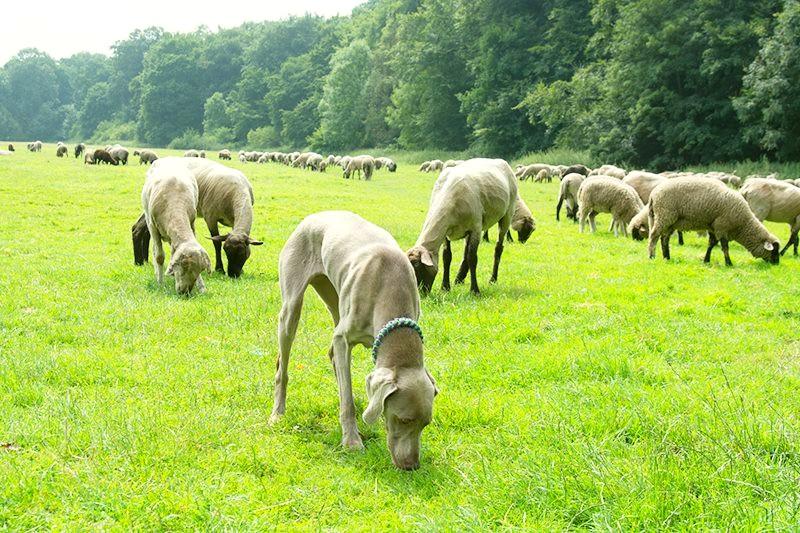 Weimaraner unter Schafen