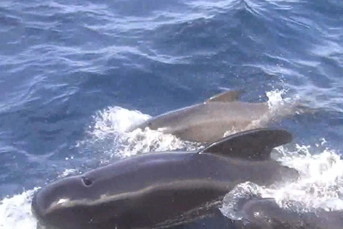 Grindwale beim Whalewatching in Tarifa