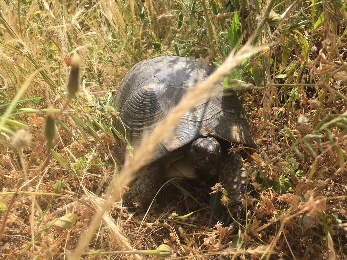 Schildkröte auf Sardinien