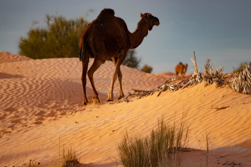 Dromedar in Tunesien