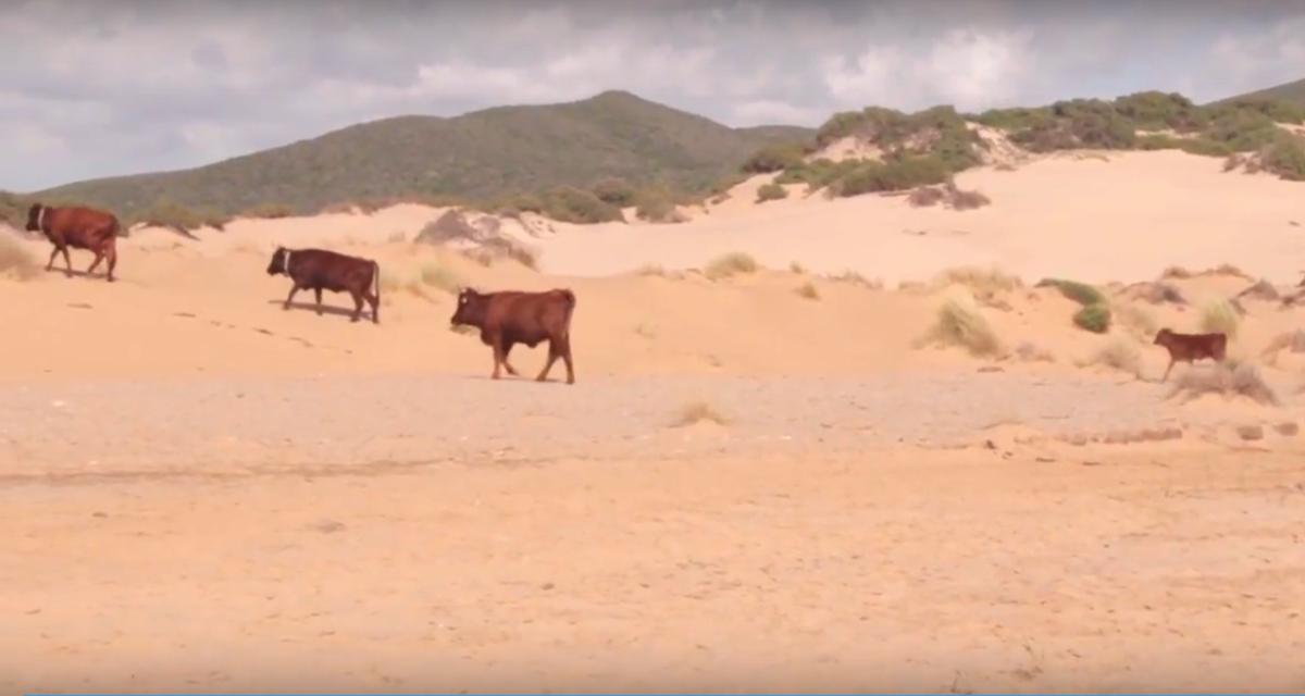 Rinder in der Dune di Piscinas