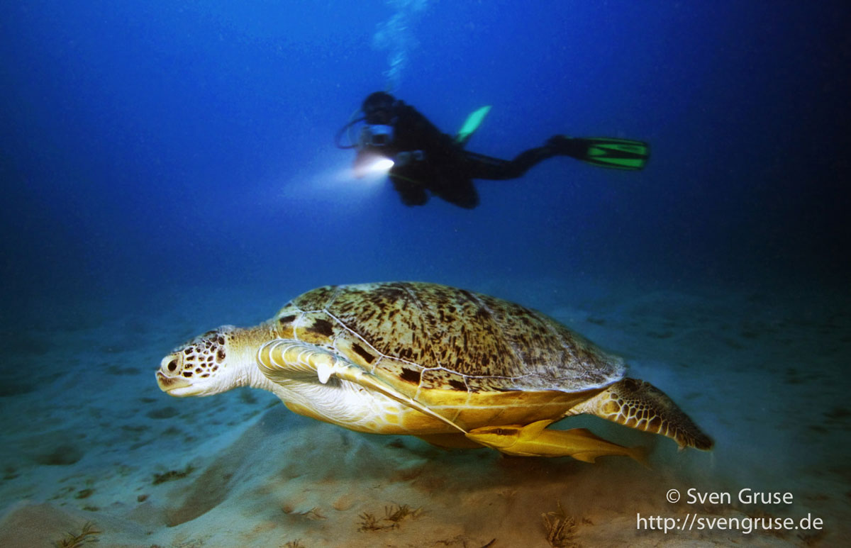 Arbeiten im Paradies - Taucher fotografiert Wasserschildkröte